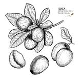 Hand drawn shea plant branch and nuts. Engraved vector illustration. Medical, cosmetic plant. Moisturizing butter. Essential oil. Cosmetic, medicine, treating royalty free illustration