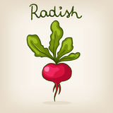 Hand drawn shiny radish Stock Photos