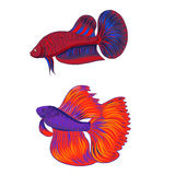 Hand drawn siamese fighting fish, beautiful fish Royalty Free Stock Images