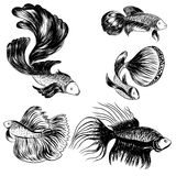 Hand drawn siamese fighting fish, beautiful fish Stock Image