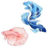 Hand drawn siamese fighting fish, isolate vector Royalty Free Stock Images