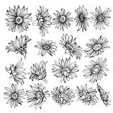 Hand drawn Sketch of blooms.sunflower sketch. Beautiful monochrome black and white flowers daisy Royalty Free Stock Image