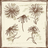 Hand drawn sketch of  daisies Royalty Free Stock Images