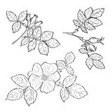 Hand drawn sketch dog rose flowers and fruits Stock Photos