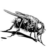 Hand drawn sketch of fly. Retro realistic animal isolated. Black and white drawing insect. Vector illustration vector illustration