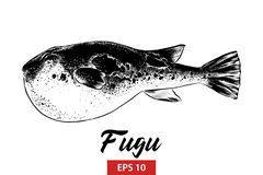 Hand drawn sketch of fugu fish in black isolated on white background. Detailed vintage etching style drawing. royalty free illustration