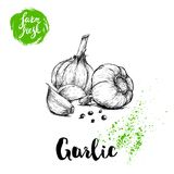 Hand drawn sketch garlic group with black pepper. Fresh farm food vector illustration. Farm vegetables poster. Royalty Free Stock Image