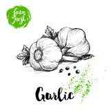 Hand drawn sketch garlic group with parsley leafs and black pepper. Fresh farm food vector illustration. Farm vegetables poster. Stock Image
