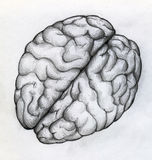 Hand drawn sketch of human brain. Close up top view. Lots of curves - gyri - can be seen on the surface. And it really looks like a walnut royalty free illustration