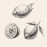 Hand Drawn Sketch of  Lemons Set Vector Illustration Royalty Free Stock Photos