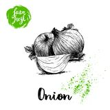Hand drawn sketch onions with parsley leafs. Whole and onion segment. Farm fresh vegetables poster. Stock Image