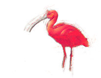 Hand drawn sketch of a red tropical bird. Isolated. Contains cli Royalty Free Stock Photo