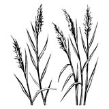 Hand drawn sketch of the reed isolated on white background. stock illustration