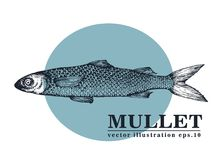 Hand drawn sketch seafood vector vintage illustration of mullet fish. Can be use for menu or packaging design. Engraved. Style. Retro illustration Royalty Free Stock Photo