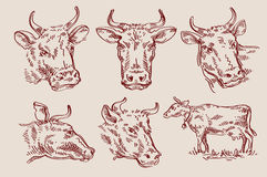 Hand drawn sketch set cow and bull. vector Royalty Free Stock Photos