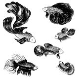 Hand drawn and sketch, Siamese fighting fish Royalty Free Stock Image