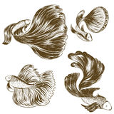 Hand drawn and sketch, Siamese fighting fish Royalty Free Stock Photos