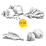 Hand drawn sketch spices set. Garlic composition with parsley, ginger root, bay leaves and nutmegs. Herbs, condiments and spices v. Ector illustration isolated Stock Images