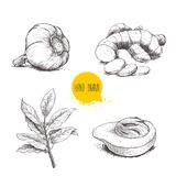 Hand drawn sketch spices set. Garlic, ginger root with cuts, bay leaves branch and nutmeg mace fruit. Herbs, condiments and spices. Vector illustration isolated Stock Photo