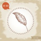Hand drawn sketch style bay leaf. Spice and condiment vector illustration. Isolated on old looking background Royalty Free Stock Image