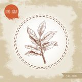Hand drawn sketch style bay leaves branch with seeds. Spices, condiments, aroma medicine vector illustration. Isolated on old background Royalty Free Stock Photography