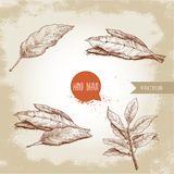 Hand drawn sketch style bay leaves set. Collection of herbs and condiments. Vector illustrations Stock Photo