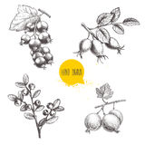 Hand drawn sketch style berry branches set. Blueberry branch, rose hip branch, black or red currant and gooseberries. With sliced berry. Eco berries vector Stock Photo