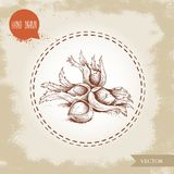Hand drawn sketch style hazelnuts in their clusters. Forest nuts filbert, cobnuts. Vector illustration. Isolated on old background Stock Photos