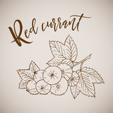 Hand drawn sketch style painting red currant Royalty Free Stock Image