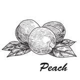Hand drawn sketch style peach. Ripe whole peach and peach quarter. fresh farm fruits vector illustration. Royalty Free Stock Image