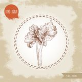 Hand drawn sketch style rhubarb bunch with leaves. Organic food component vector illustration. Stock Photos