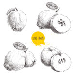 Hand drawn sketch style set of quinces. Quince apple with leaf, group of quinces and sliced quince. Eco fruit vintage vector illus Stock Photo