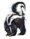 Skunk watercolor illustration. fashion Tee shirt design. Hand-drawn skunk watercolor illustration. fashion Tee shirt design vector illustration