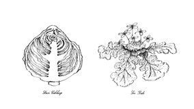 Hand Drawn of Sour Cabbage and Sea Kale Royalty Free Stock Photo