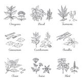 Hand drawn spices. Herbs and vegetables sketch elements, oregano turmeric cardamom basil and mint. Vector Indian food royalty free illustration