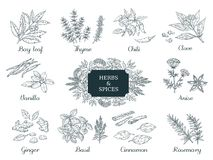Hand drawn spices. Indian food herbs and vegetables, Italian and Asian ingredients, chili thyme and ginger vector. Illustration vintage sketch vector illustration