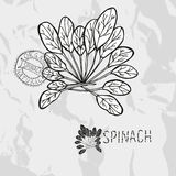Hand drawn spinach Stock Images