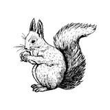 Hand drawn squirrel. Vector sketch. royalty free stock photos