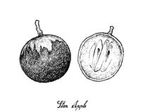 Hand Drawn of Star Apple on White Background. Tropical Fruit, Illustration Hand Drawn Sketch of Star Apple or Chrysophyllum Cainito Fruits Isolated on White Stock Photography