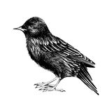 Hand drawn starling Stock Images