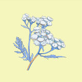 Hand drawn  tansy in light blue colores Stock Photos