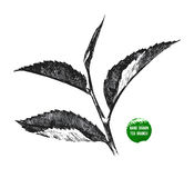 Hand drawn tea leaf Stock Image