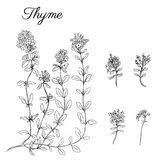 Hand drawn Thyme branch with leaves isolated on white. Healing herb. Botanical Illustration. Graphic. Vector Royalty Free Stock Photography