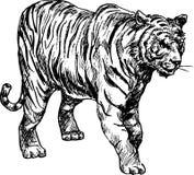 Hand drawn tiger. Illustration of hand drawn tiger Royalty Free Stock Image