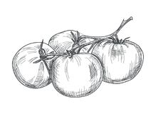 Hand drawn tomato over white background Royalty Free Stock Photo