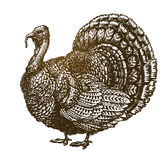 Hand drawn turkey bird. Farm animal, poultry sketch. Vintage vector illustration Royalty Free Stock Image