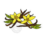 Hand drawn vanilla Royalty Free Stock Images