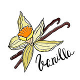 Hand drawn Vanilla flower and pods. Vector illustration. Stock Photography