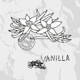 Hand drawn vanilla Royalty Free Stock Photography