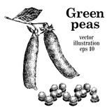 Hand drawn vector green peas illustration Royalty Free Stock Photos